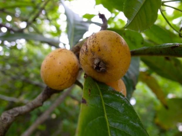Nesperas, gele Portugese vrucht