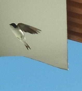 bezoek van de zwaluw